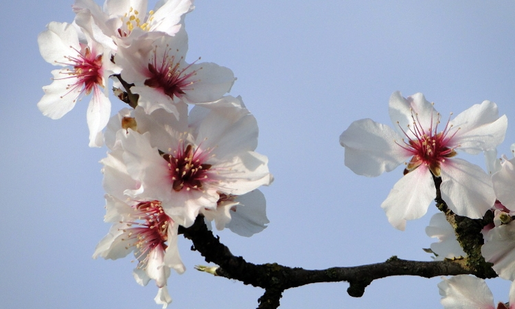 Almond Orchard Sustainability Lifecycle Study Highlights Greenhouse Gas Benefits,